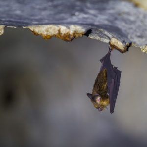 Small bat hanging from the cave roof